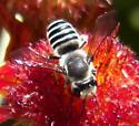 Bee  Megachile sp. ? - Megachile policaris