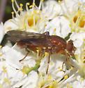Orange fly - Brachyopa? - Hammerschmidtia rufa