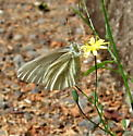 white butterfly - Pieris