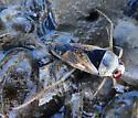 Water Bug - Notonecta kirbyi