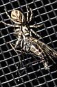 6mm spider with big appetite - Salticus scenicus