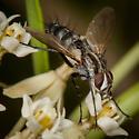 Tachinid Fly - Vanderwulpia sequens