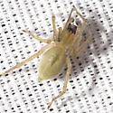 Longlegged Sac Spider - Cheiracanthium inclusum