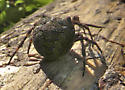 An Orb Weaver of somesort? - Araneus