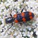 Red-blue Checkered Beetle - Trichodes nuttalli