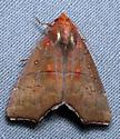 Rose of Sharon Moth  - Anomis privata