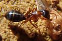 unknown ant - Camponotus sansabeanus