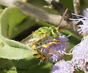 bee - Agapostemon melliventris - male