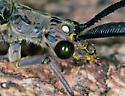 Chauliodes rastricornis - Spring Fishfly - Chauliodes rastricornis