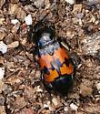Burying Carrion Beetle, perhaps - Nicrophorus