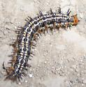 caterpillar - Junonia coenia