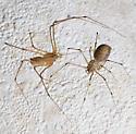 Spitting spiders in love - Scytodes atlacoya - male - female