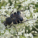 Hairy flower beetle on Queen Anne's Lace - Trichiotinus piger