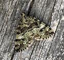 Unknown Moth - Hydriomena speciosata