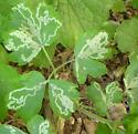 Thalictrum -- Phytomyza?