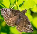 Brown Butterfly - Erynnis icelus