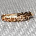 Unknown Moth - Eucosma parmatana