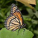 Viceroy - Limenitis archippus - male