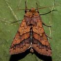 Unknown Moth - Pyrrhia exprimens