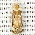 Caribbean Scavenger Moth - Hodges #0304 - Erechthias minuscula