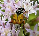 Florida Beetle - Trigonopeltastes delta