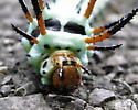 Hickory Horned Devil or  Regal Moth - Hodges#7706 - Citheronia regalis
