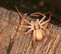 running crab spider - Philodromus dispar