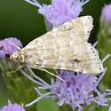 Moth - Hellula rogatalis