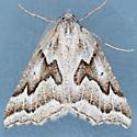 6924 - Plataea californiaria - male