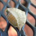 Leaf Litter Find - Prolimacodes badia