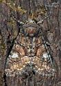 Unknown Moth - Fishia illocata