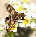 Exoprosopa doris vs fascipennis - Exoprosopa doris