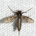120411Midge - Chaoborus - female