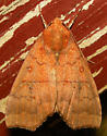 hibiscus leaf caterpillar moth - Anomis privata