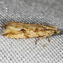 Unknown Micromoth - Bactra furfurana