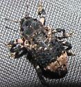 Cryptorhynchus lapathi ? - Cryptorhynchus lapathi