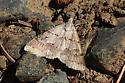 Unidentified moth - Hemeroplanis historialis