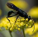 Unidentified Wasp - Chalybion californicum
