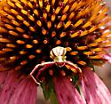 Flower crab spider in echinacea - Misumenoides formosipes