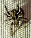 Pseudeuophrys erratica - male