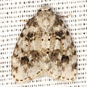 Little White Lichen Moth - Hodges #8098 - Clemensia ochreata