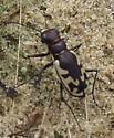 Tiger beetle - Cicindela formosa