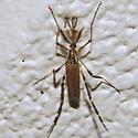 Fly 05.16.2009 144 - Psorophora ciliata