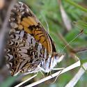 Beautiful Orange Butterfly - Chlosyne gorgone