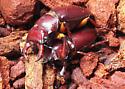 Lucanus capreolus - male - female