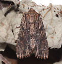 Noctuidae, Confused Woodgrain - Morrisonia confusa
