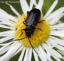Beetle - Diabrotica cristata