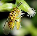 Mello Yello Wasp....Revisited - Conura