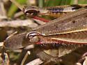 Grasshopper - Melanoplus femurrubrum