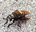 big fly? - Mallophora leschenaulti